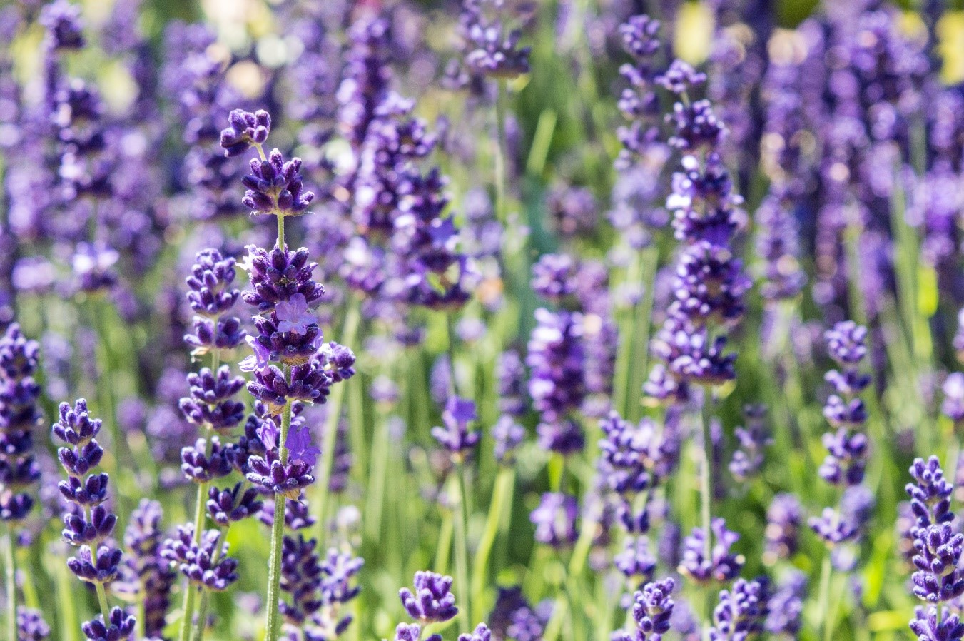 Lavender bought from adobe